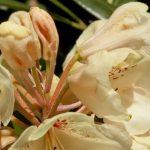 Uprawiamy Różaneczniki w przydomowych ogrodach
