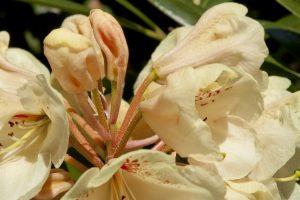 Różaneczniki
